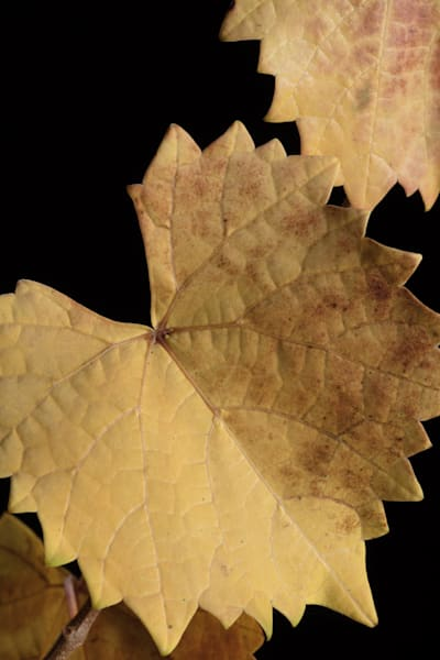 Brown Fll Leave Grape Leaves Micro 1746.04