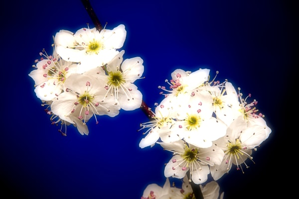 Plum Blossoms on Blue Fine Art 1020.14