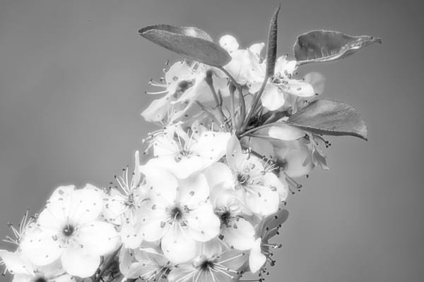 Dreamy Monochrome Plum Blooms For Meetal Art 1020.19