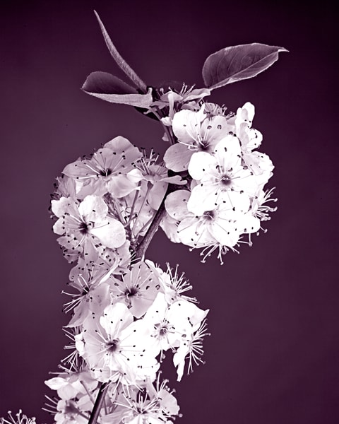 Wild Plum Blooms Wall Art Photograph 0628.10i