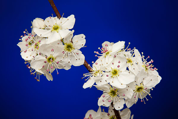 Sharp Plum Flowers on Blue Wall Art 1020.15