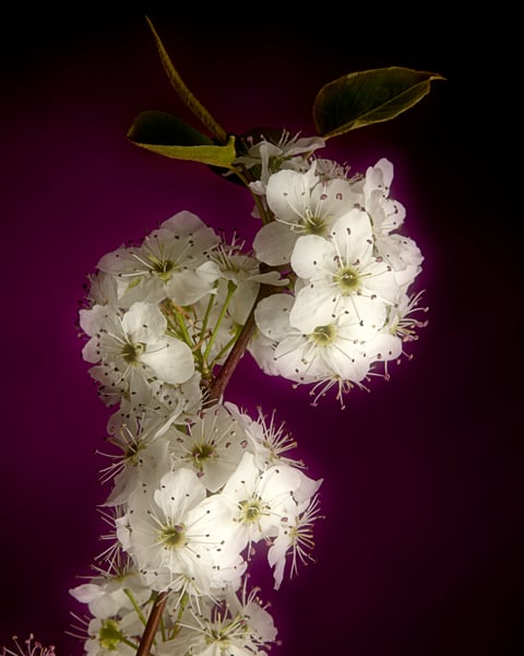 Soft Wild Plum Flower 1020.06