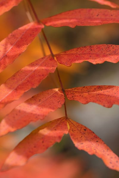 Red Tree Leaves Fall Color  Wall Art 5528 34