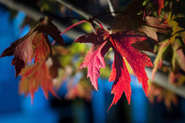 Wall Art Fall Color Red Leaves 5528 19