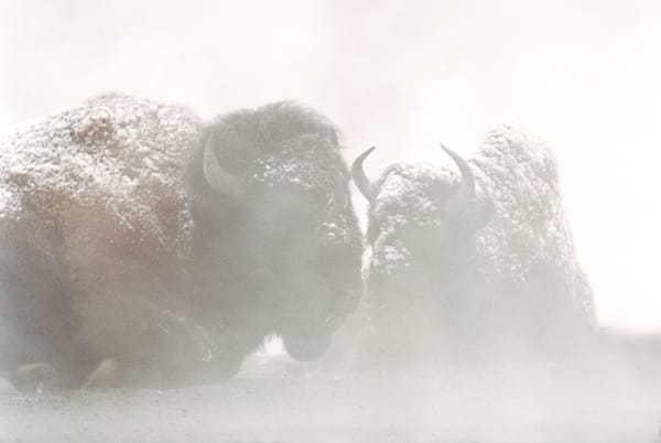 145-Foggy-Bison