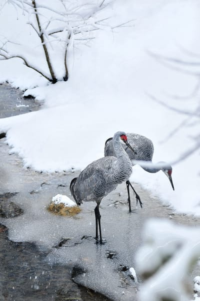 wildlife photography, photographs of cranes, birds of feather, art photographs of birds and wildlife,