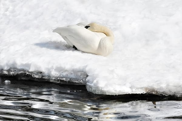 sleeping birds, art photographs of white swans, birds of feather photographed by Brad Oliphant,