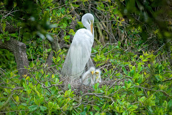 Florida Everglades photography, wildlife photography of Great Egret birds, art photographs of birds and Great Egrets,