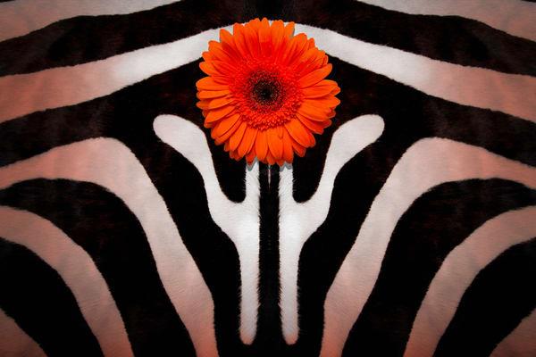 Gerber Daisy flower, zebra skins, art photographs of Gerber Daisies on Zebra Skins,