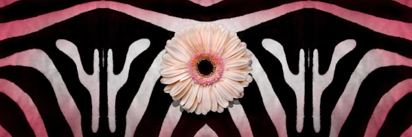 patterns and stripes, pictures of striped zebra skins, art photographs of Gerber Daisy flowers,