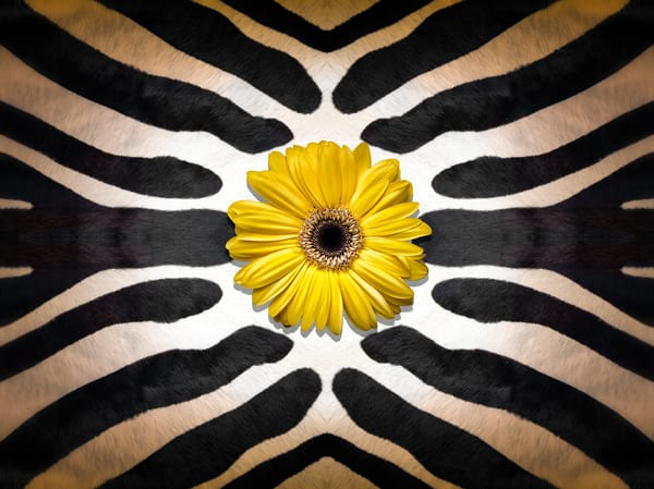Yellow and black art photographs, pictures of zebra skins and pelts, Gerber Daisies flowers,