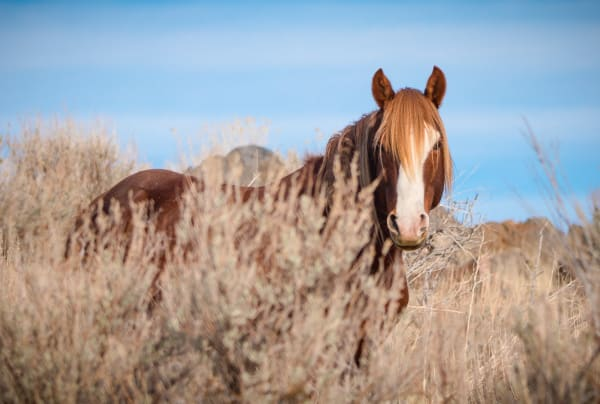 Washoe Stallion