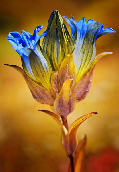 Alpine flower photo print by Fred Neveu.