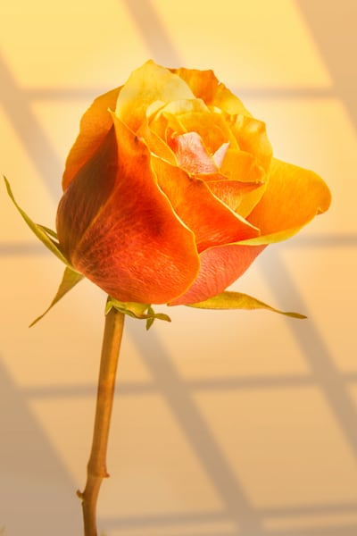 Canvas Print Orange Rose Wall Art 1625.562