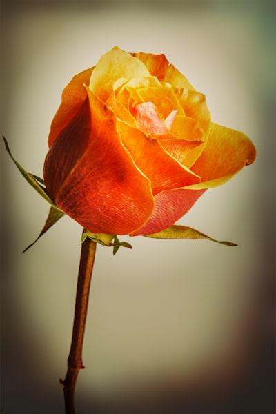 Orange Rose Canvas Print 1625.561