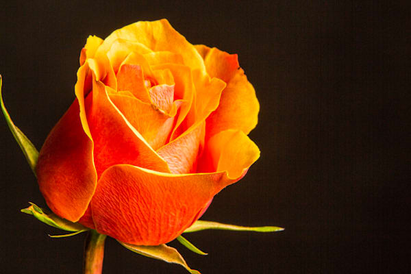 Metal Wall Art Orange Rose 1625.52