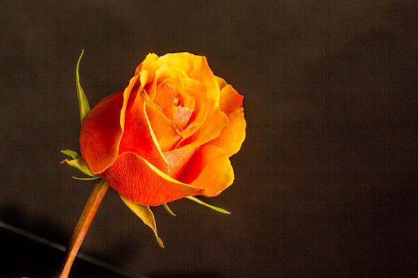 Large Wall Art Orange Rose 1625.55