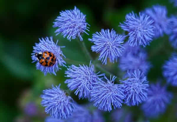 Ladybug Photography Art | Lance Rosol Fine Art Photography