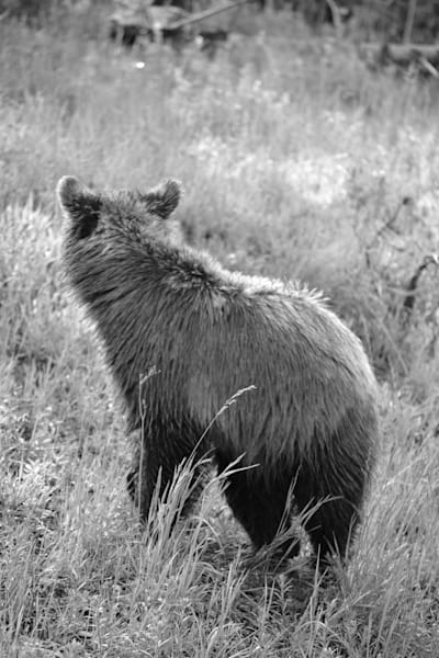 Black and White Photograph of a young Grizzly bear for sale as fine art