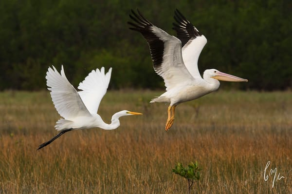 Egret and Pelican