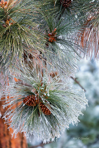 Freezing Fog Pine (1810035NWND8RM) Photograph for Sale as Fine Art Print