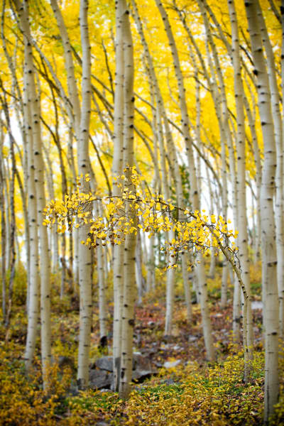 Lonely small aspen tree bowing to it's elders.
