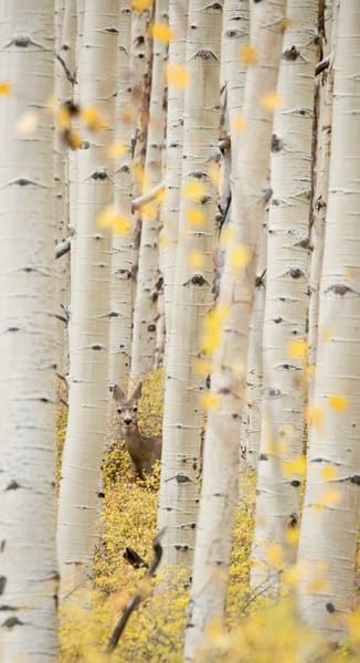 A mule deer peaks out from behind a tree to say hello up in the Aspen Ridge area near Buena Vista and Salida, Colorado.