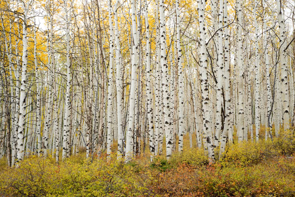 Aspen grove in fall color at Aspen Ridge, Buena Vista, Colorado