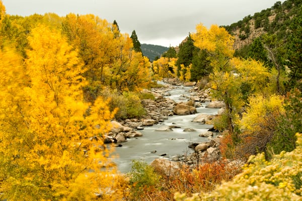 Autumn trees blowing in the wind on the Arkansas River, Buena Vista, Colorado
