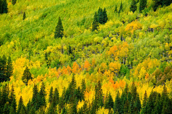 This mountain hillside near St Elmo, Colorado is just starting to change to it's autumn glory.