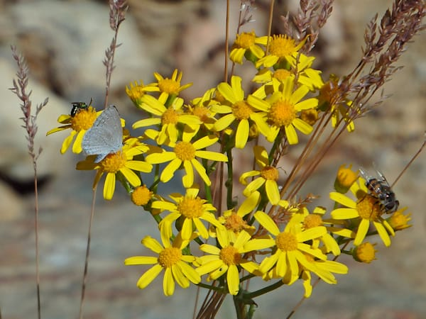 Yellow Flowers on Mount Ord 2
