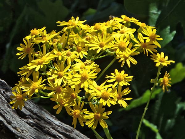 Yellow Flowers on Mount Ord