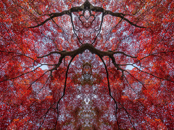flame red fall leaves, Japanese Maple trees, Kaleidoscopes and abstract images,