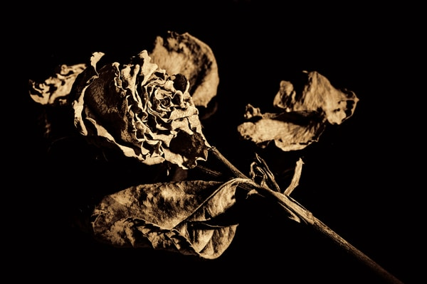 Sepia Faded Love Dead Rose Wall Art 6014.01