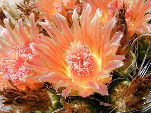 Orange Barrel Cactus Flowers