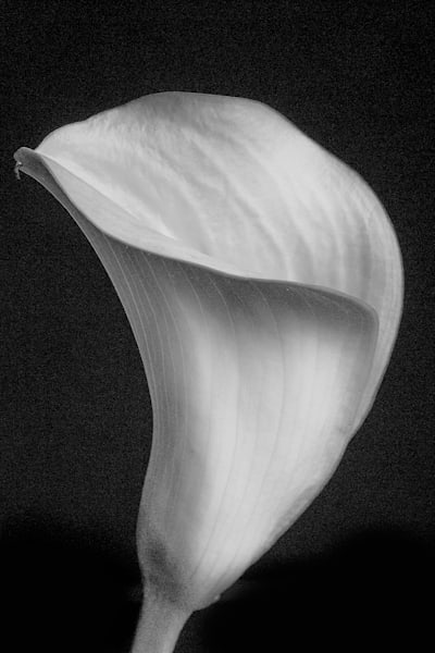 Lily Flower in Black and White Wall Art  6007.02