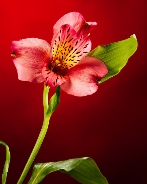Soft Red Lily FLower 6004.01