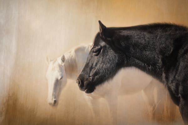 Horses, White Horse, Black Horse, Equine Fine Art