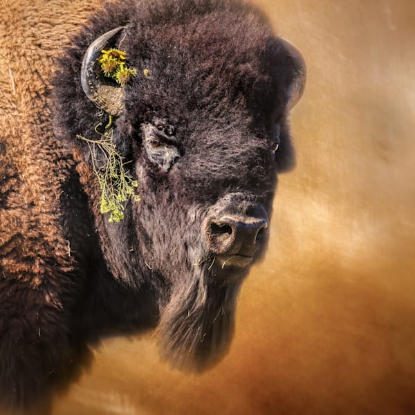 Buffalo, Bison Art, Western Art