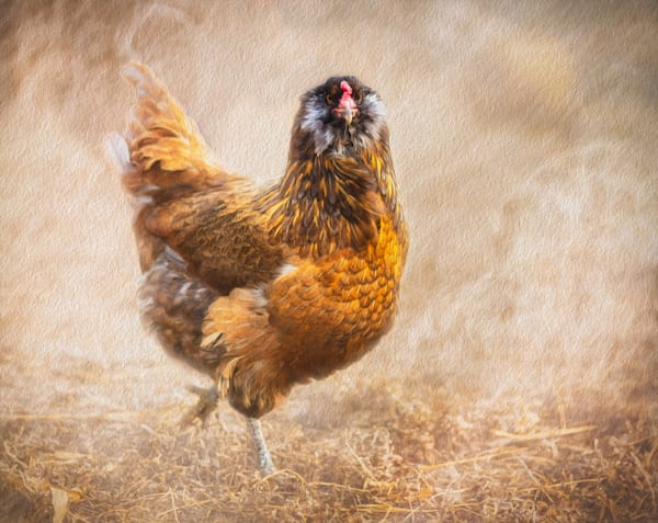 Western Art, Crossing the Road, Chicken