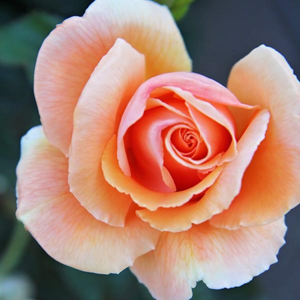 Peach Rose, Square
