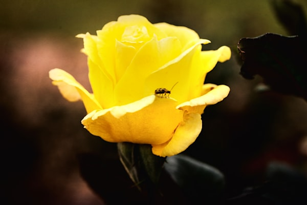 Yellow Rose and Bee in the Field 5528.41