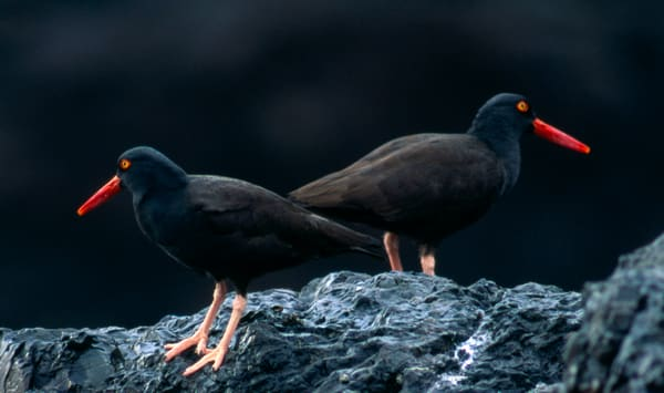 The Black Oystercatcher