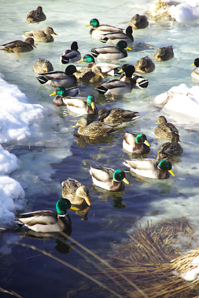 Green Ducks, Ice, Winter,