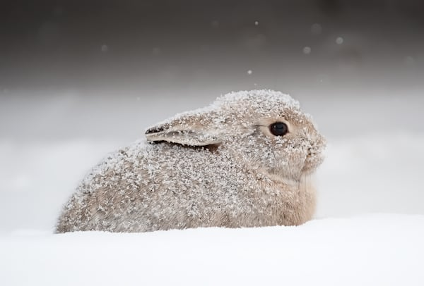 Snow Bunny Photography Art | Craig Edwards Fine Art Images