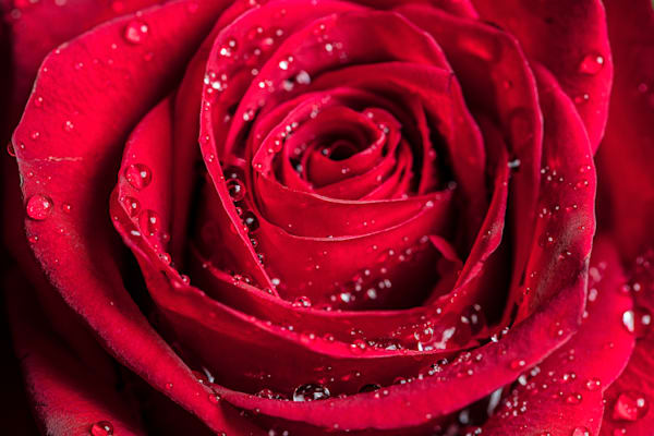 Red Rose Wet Closeup Wall Art 1803.09