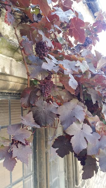 Beautiful grapevines on a Medieval Wall in Wilshire