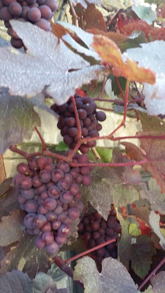 Grapes in Wiltshire
