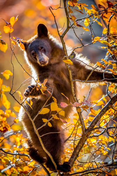 Black Bear Cub: Dancing Bear Cub, Grand Tetons - by Curt Peters