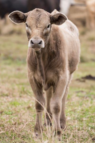 Calf portrait, Damon, Texas